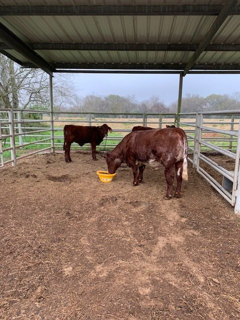 cows eating from King 7 feed